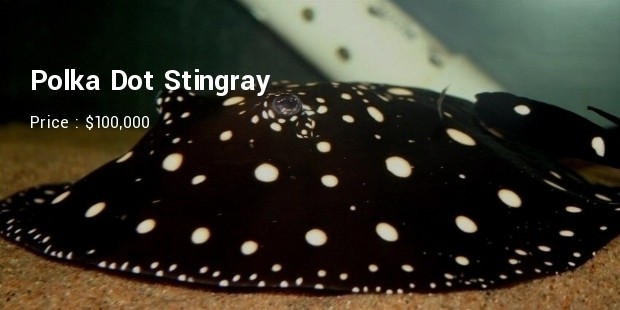 polka dot stingray