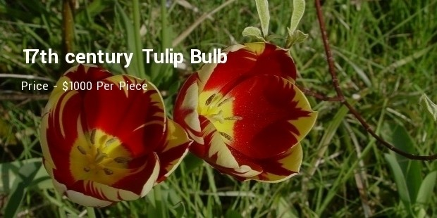 17th century tulip bulb