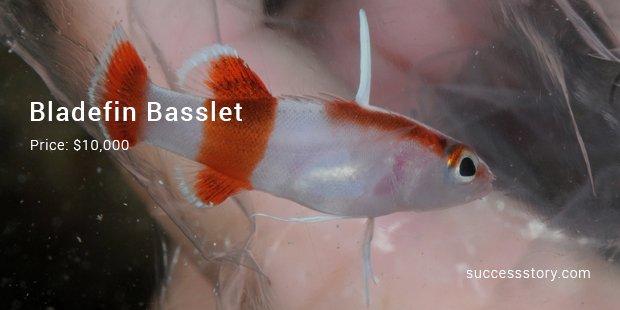 Bladefin Basslet