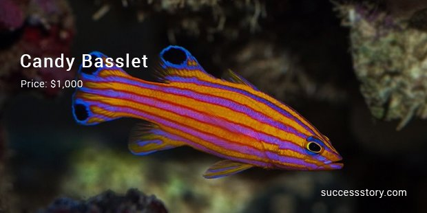 candy basslet