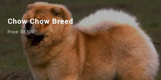 chow chow breed