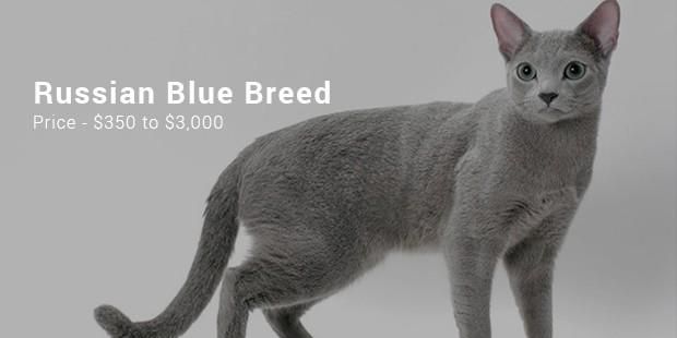 russian blue breed