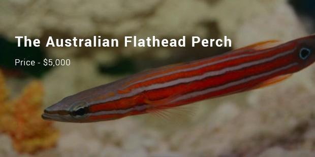 the australian flathead perch