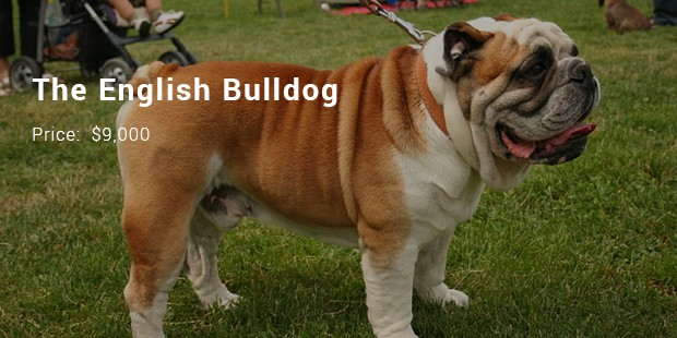 the english bulldog