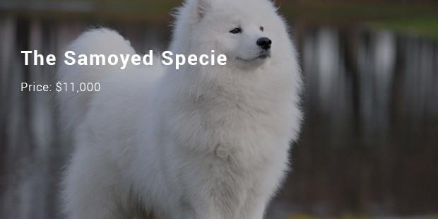 the samoyed specie