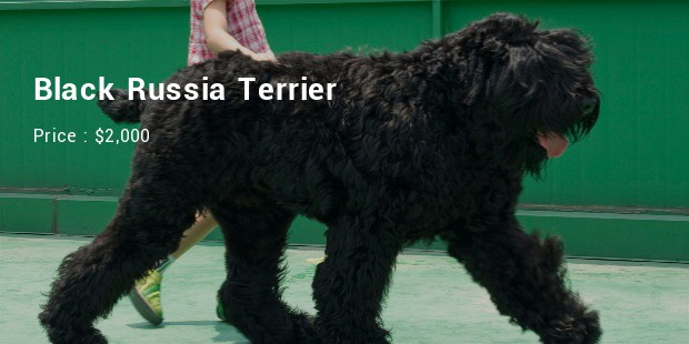 Black Russia Terrier