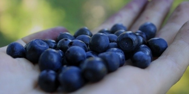 blueberry 834622