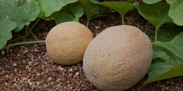 cantaloupes in garden web