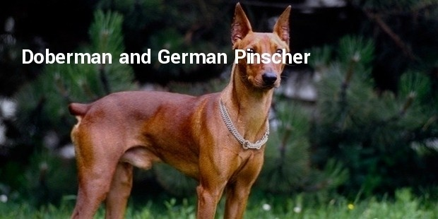 doberman and german pinscher