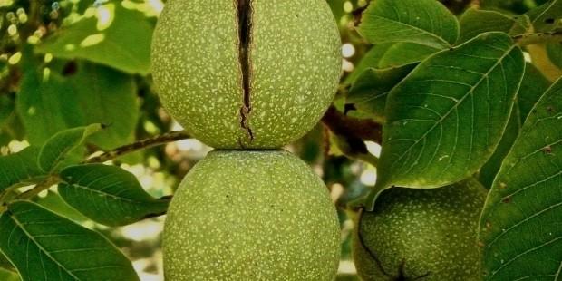 fruit 222042