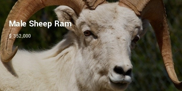 male sheep ram