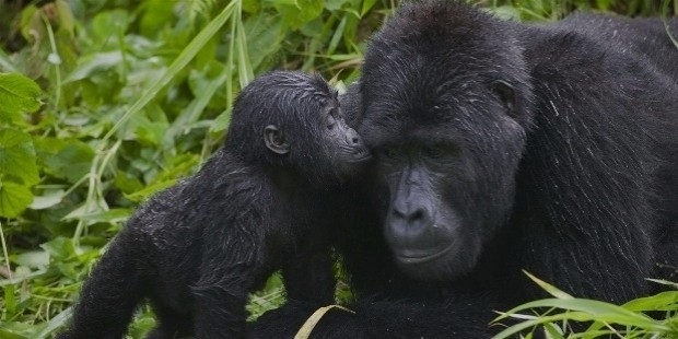 national park uganda animals baby gorillas 1920x1080 wallpaper