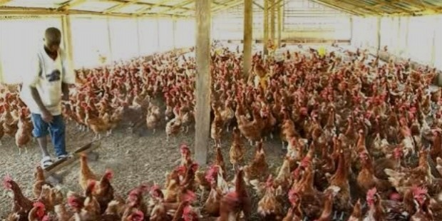 poultry faming in nigeria
