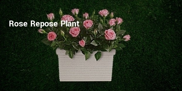 rosepot