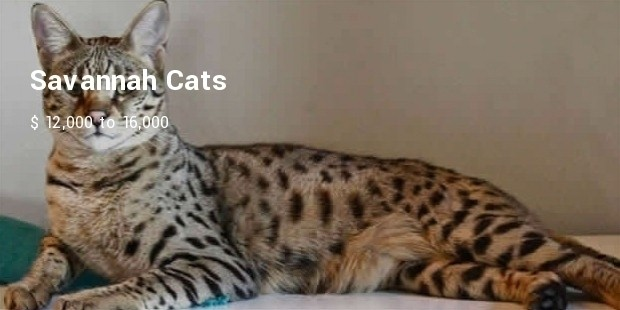 savannah cat3