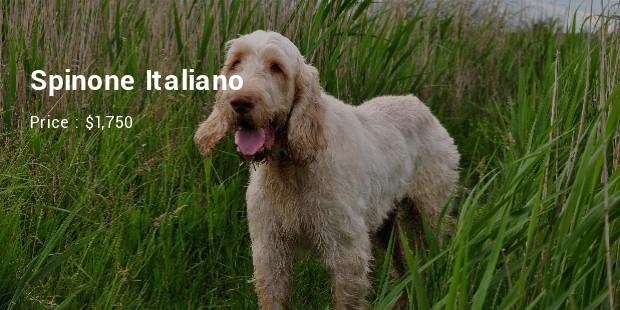 Spinone Italiano