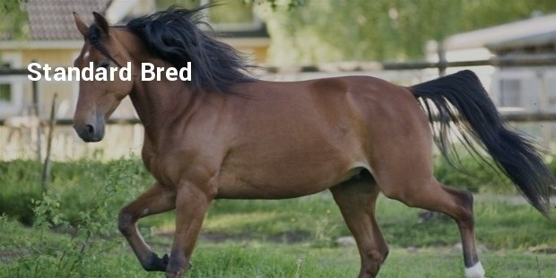 standard bred