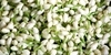 The Importance of Jasmine Flower in Festivals