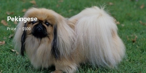 Most Expensive Asian Dog Breeds to Own