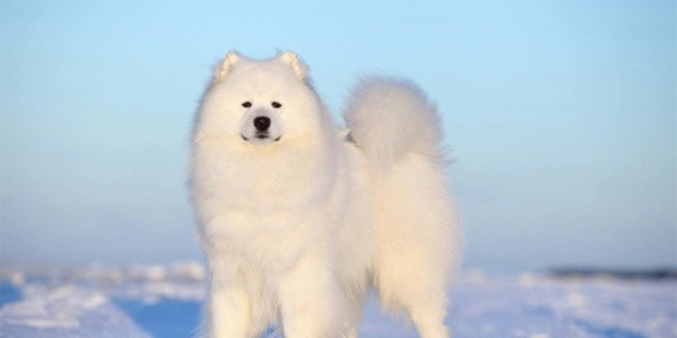 7 Most Expensive Dog Breeds in the World